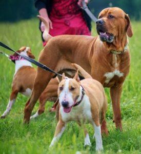 tosa a jiní psy