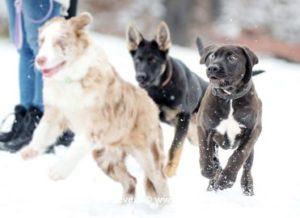 tosa a ostatní psi